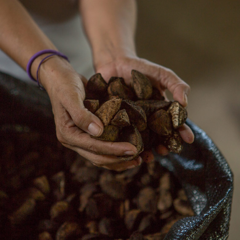 A pair of hands holds several large Brazil Nuts from a bag towards the camera. There are two purple bands around the person's leftmost wrist.