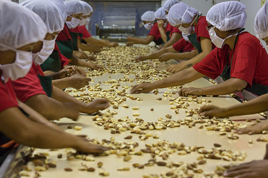 Several workers stand on either side of a conveyer belt wearing red shirts, black aprons, hairnets, and face masks. Dozens of Brazil Nuts are on the conveyer belt as the workers sort through them.