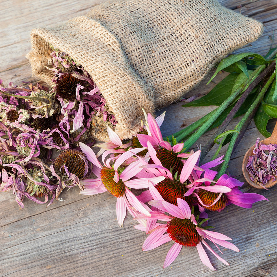 Echinacea Species And Their Active Ingredients