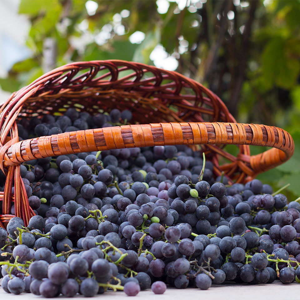 More About Resveratrol